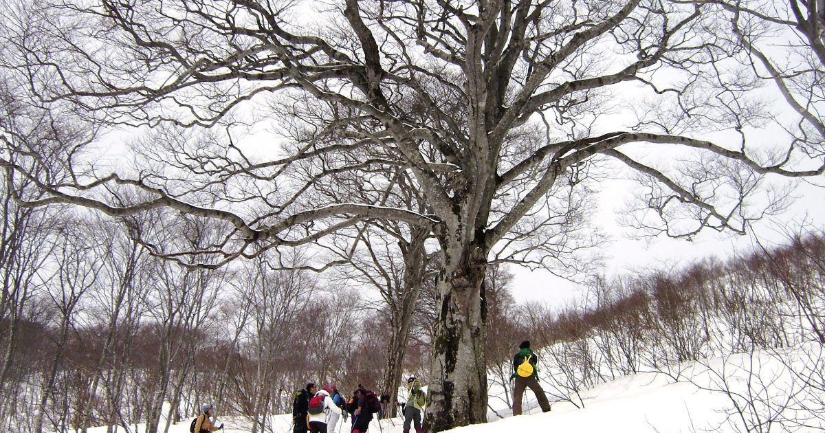 Snowshoeing tour to see the magnificent beech tree.